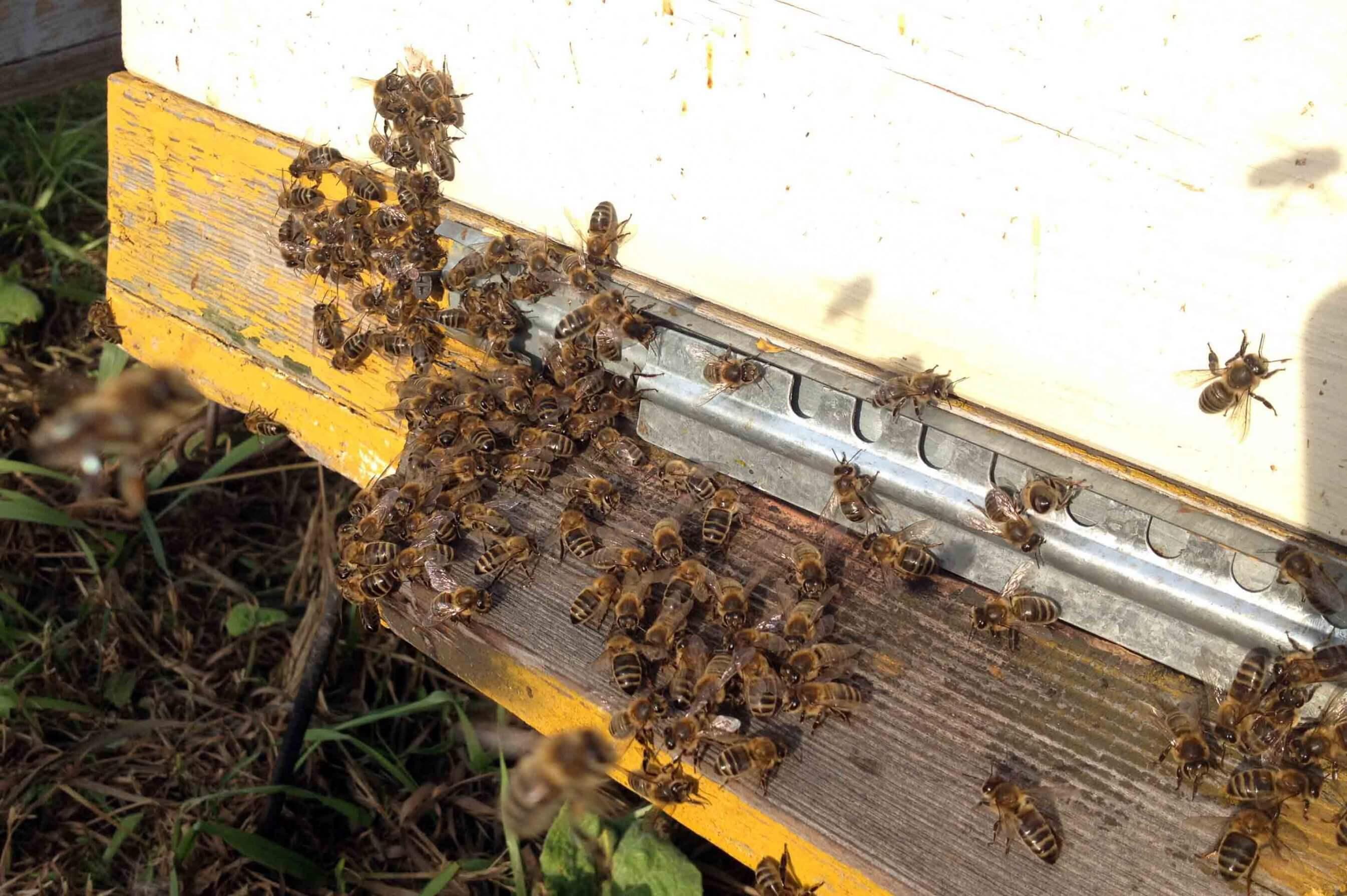 Основные правила и методы двухматочного содержания пчел в ульях