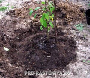 Шаг 7. Заполняем почвой пространство между комом с саженцем и углублением в посадочной яме, слегка поливая его