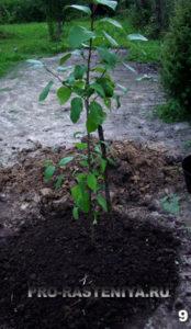 Шаг 9. Мульчируем почву под саженцем яблони плодородным грунтом. Для защиты от ветра подвязываем саженец яблони к колу