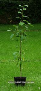 Шаг 1. Приобретаем саженец яблони в проверенном местном питомнике растений, садовом центре, на выставке растений