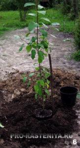 Шаг 6.Устанавливаем рядом с комом в посадочной яме кол для подвязывания саженца. Кол не должен повредить корни