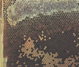 Расплод перга открытый и запечатанный мед на сотах